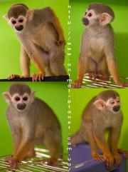 Саймири,  ручные карликовые обезьянки