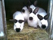 Продаются кролики калифорнийской породы