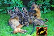 Продаю котят Пумы (Felis concolor). родились 17 мая 2013.г. ИСКУССТВЕН