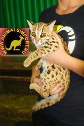 15.05.2013 родились котята Азиатской леопардовой кошки 100%хищники.