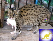 Продаю котят Кота-рыбалова (Prionailurus viverrinus) www.animalsimport