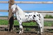 Шикарный пони долматинец.