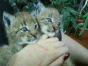 Рысь Домашняя,   продам ручных котят рыси