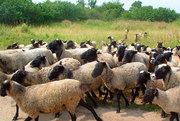 Элитные овцы романовской породы