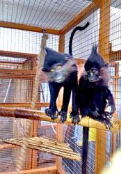 Купить Черного Хохлатого мангобея можно у нас. Продам мангобея