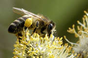 Пчелосемьи пчелопакеты карпатской породы (рут,  дадан)
