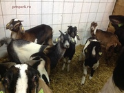 Купить Англо нубийских коз можно у нас. продам нубийцев