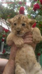 Продам Льва,  ручные Львята