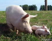 Свинокомплекс реализует свиней и поросят ОПТОМ