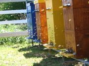 Пчелы «Карпатские» (оптом,  в розницу,  на заказ)