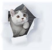 Британские котята ,  уют и тепло вашего дома!