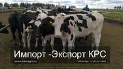 Продуктивность молочных пород КРС