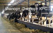 Продажа племенных нетелей молочного направления с продуктивностью от 7