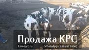 Продажа коров дойных,  нетелей молочных пород в Россию