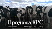 Продажа коров дойных,  нетелей молочных пород в Россию.